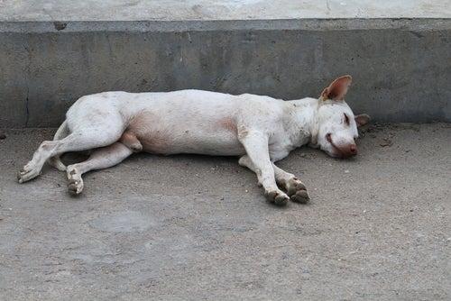 un chien blanc est allongé sur le côté, inconscient