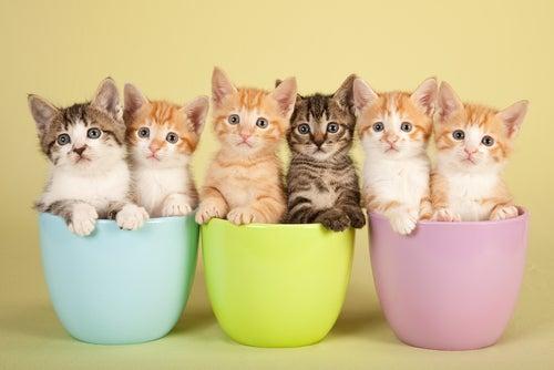 Couleur des chats et leur signification