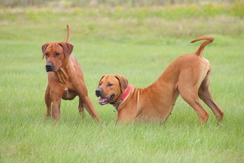Deux chiens jouent dans l'herbe