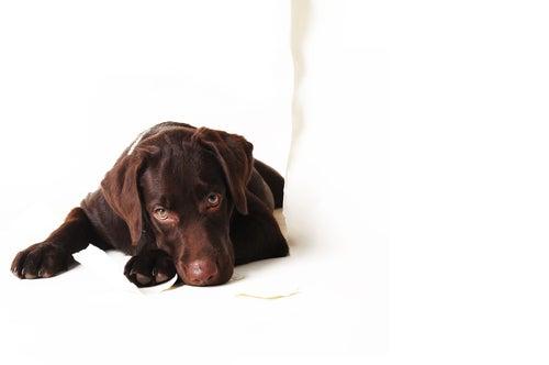 Un labrador marron allongé