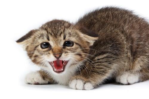 un jeune chat les oreilles en arrière, sur la défensive