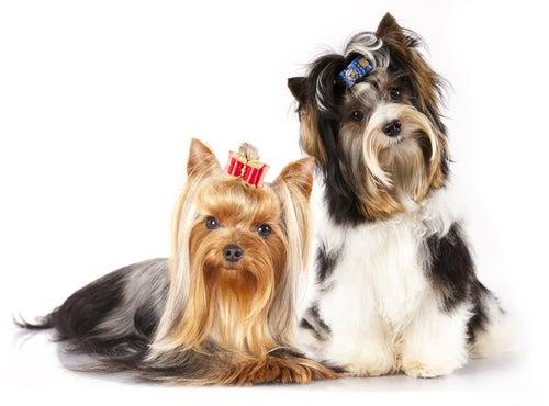Tout ce qu'il faut savoir sur les Terriers