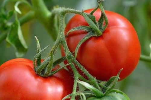 Pourquoi les tomates sont-elles toxiques pour les chiens ?