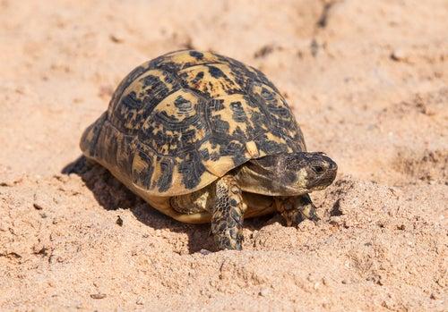 Une tortue Hermann dans du sable