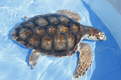 Une tortue d'eau dans un bassin