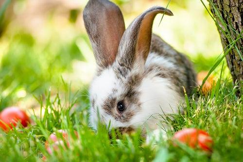 Un lapin blanc et gris dans l'herbe au milieu de tomates