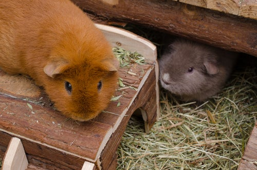 Un cochon d'Inde roux sur le toit d'une cabane et un cochon d'Inde gris à côté