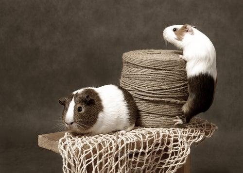 Deux cochons d'Inde bicolore avec une bobine de raffia