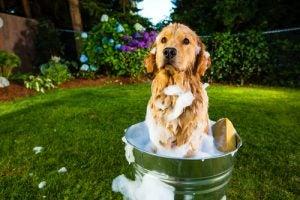 le bain du chien pour enlever les puces