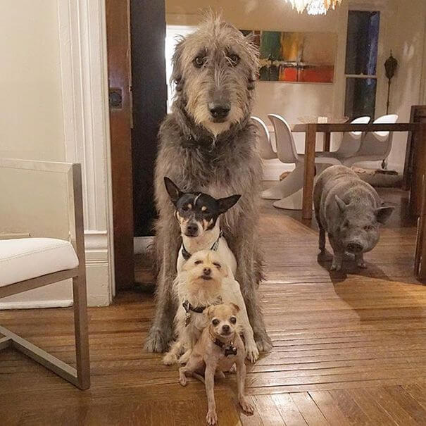 Une photo des chiens et du cochon, tous ensemble