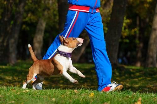 Un pitbull blanc et marron sautille à côté d'un joggeur