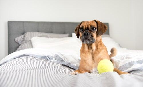 un petit chien entrain de jouer à la balle dans le lit