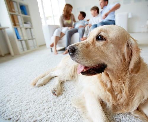 Un Labrador installé face à un canapé avec une famille