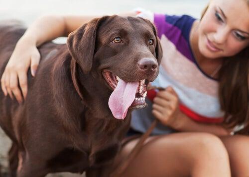 Une jeune femme enlace un labrador chocolat qui a l'air heureux