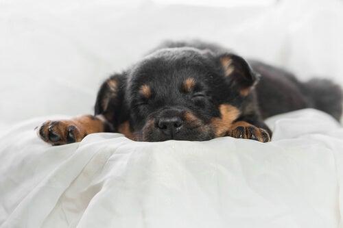un chiot rottweiler endormi