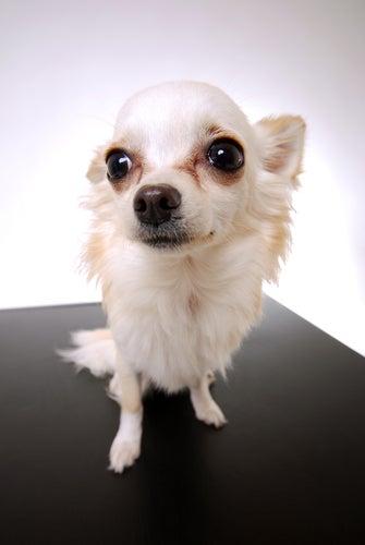 Comment enlever les tâches de larmes autour des yeux du chien ?