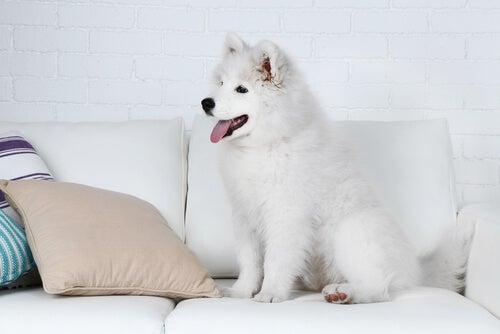 Un jeune chien blanc installé sur un canapé