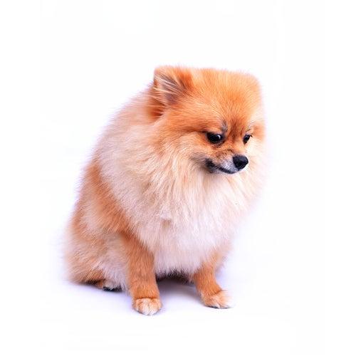 Conseils à suivre pour les chiens atteints d'anxiété