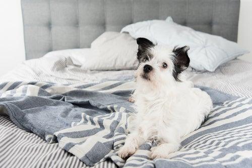 un chien l'air curieux installé sur un lit défait