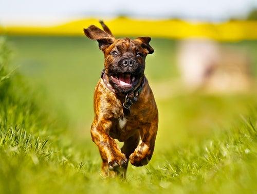 un chien court dans l'herbe, l'air heureux