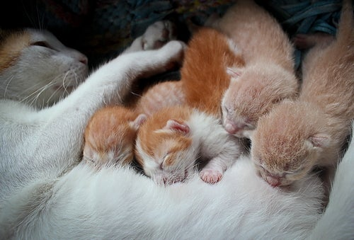 chatte blanche et rousse qui allaite ses petits