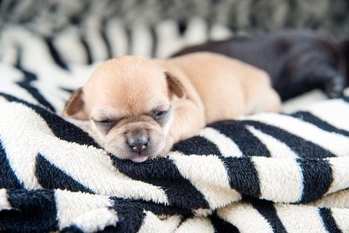 un chiot minuscule dort sur une couverture