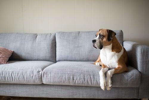 Un large boxer est installé sur un canapé