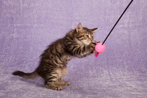 chaton qui joue avec un tige avec des plumes et jouets