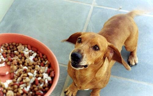 Un chien attend impatiemment face à son maître qui tiens une gamelle de croquettes mix