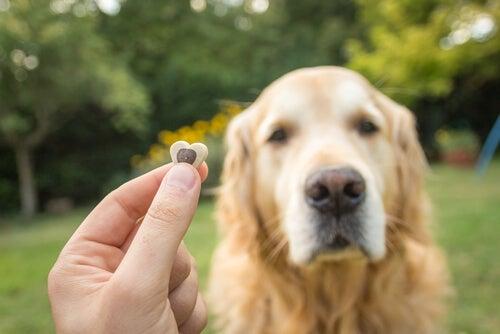 Une main tiens une friandises en premier plan avec un Golden retriever assis qui regarde