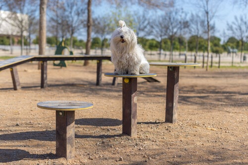 un bichon maltais assis dans un parc