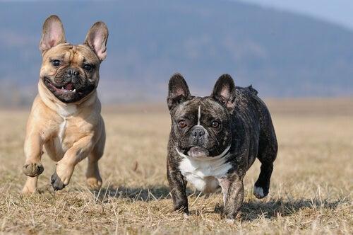 Tout savoir sur le bulldog français