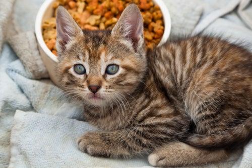 chaton devant une gamelle