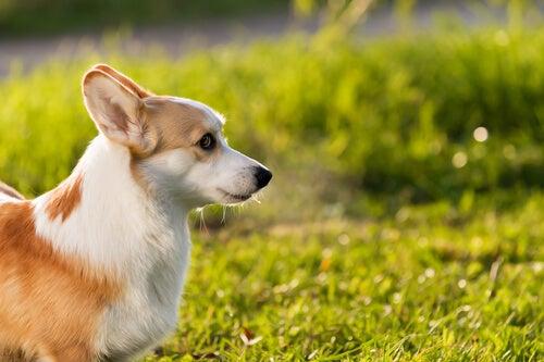 Un chien de petite taille se tient dans l'herbe au soleil