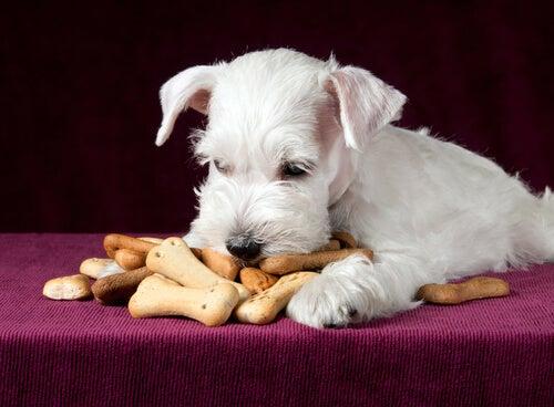 Un petit chien blanc face à un tas de biscuits