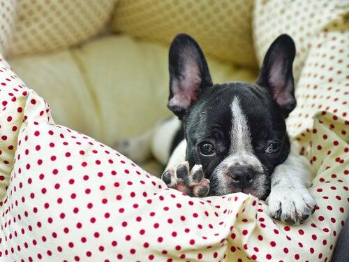 un bulldog français dans son panier