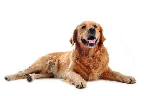 Un chien regarde vers son maître