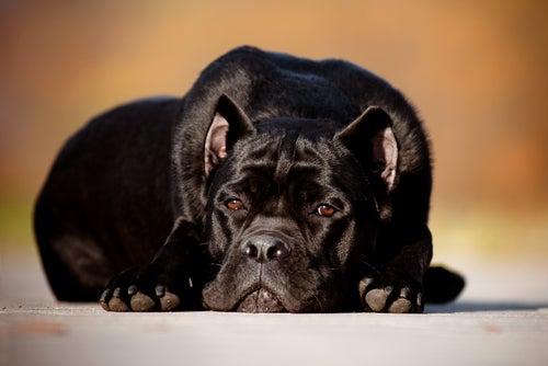 chien couché au regard triste