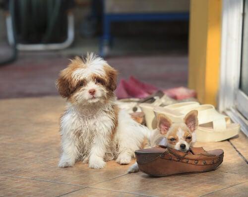 deux petits chiens installés près des chaussures de leurs maîtres