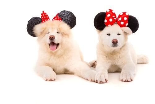 chiens déguisés avec les oreilles de Minnie