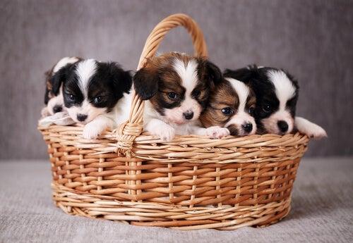 cinq chiots dans un panier