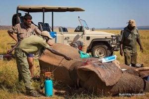éléphant blessé et soigné par des vétérinaires