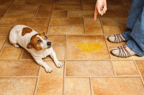 un chien se fait gronder face à une flaque de pipi