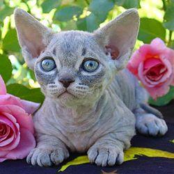 un chat minksin, le corps longs, et sans poils