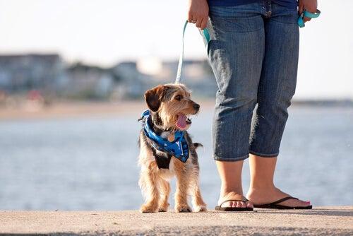 Un chien promené par sa maitresse près de la plage