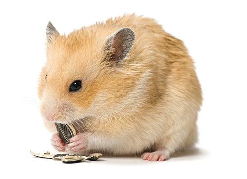 un hamster mange des graines de tournesol