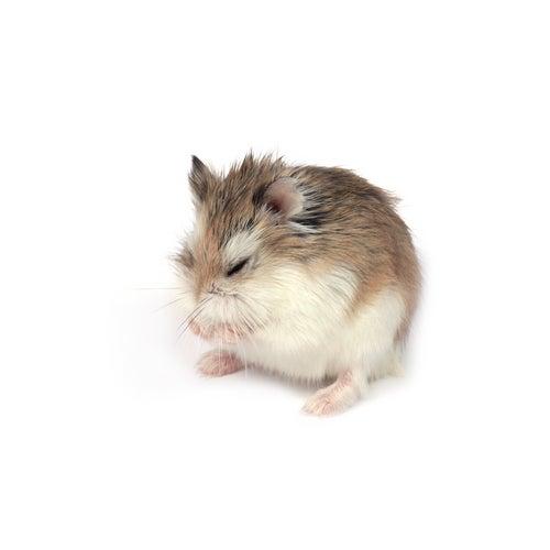 un hamster se nettoie