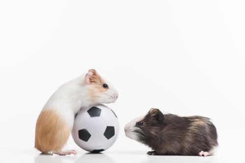 Les principales races de hamsters