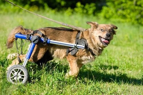 un chien handicapé avec des roues aux pattes arrières