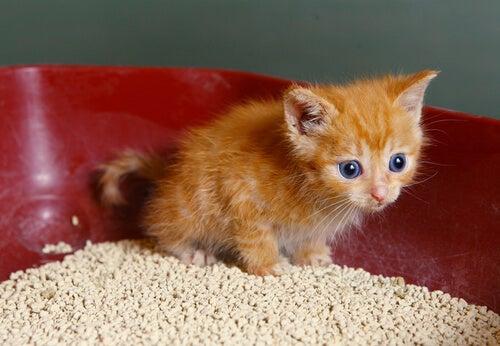 un chaton roux dans une litière